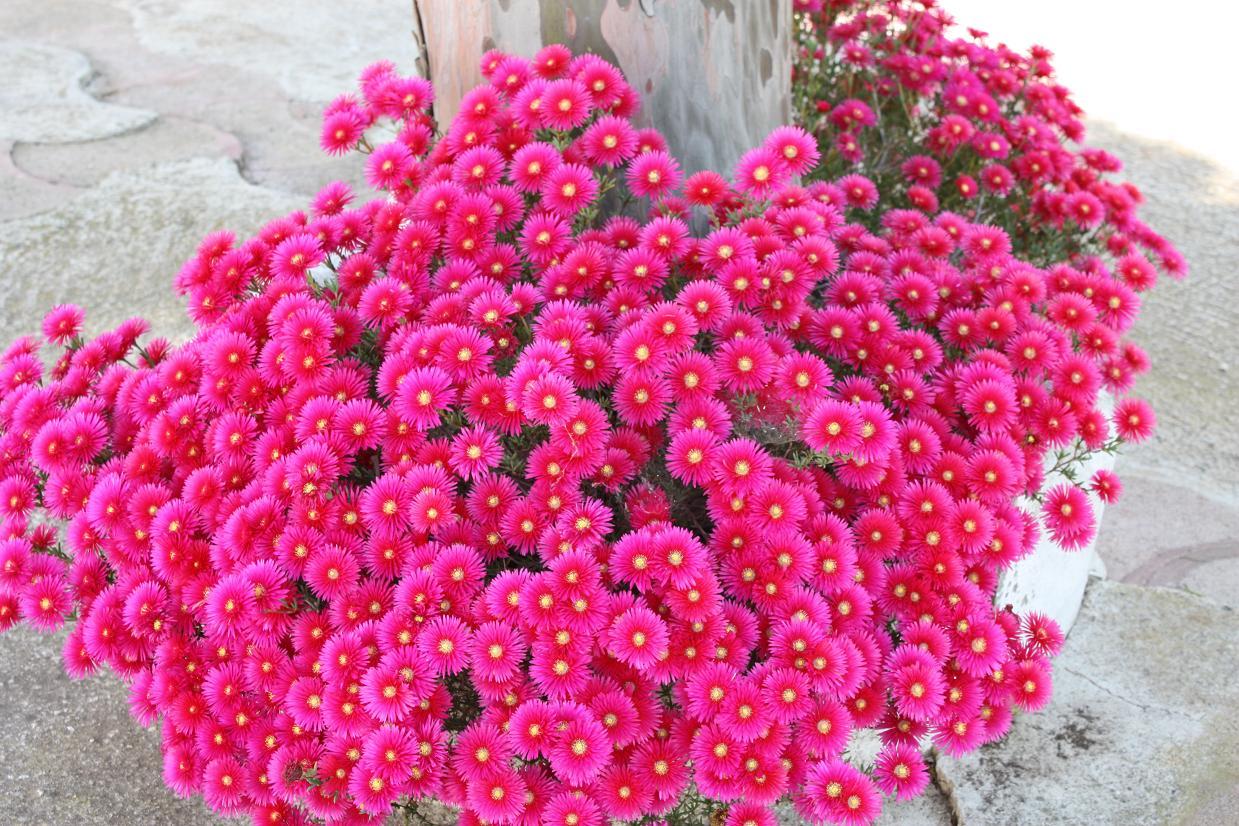 Piante da siepi sempreverdi: piante per siepi sempreverdi ...